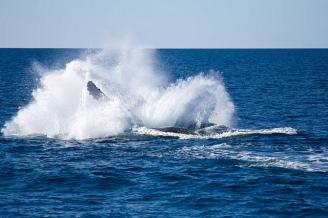"Breaching whale ""landing"""