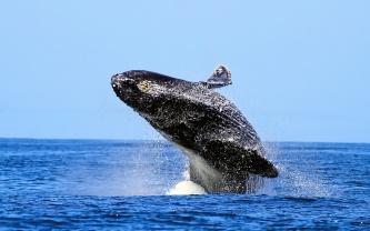 "Breaching humpback ""taking -off"""